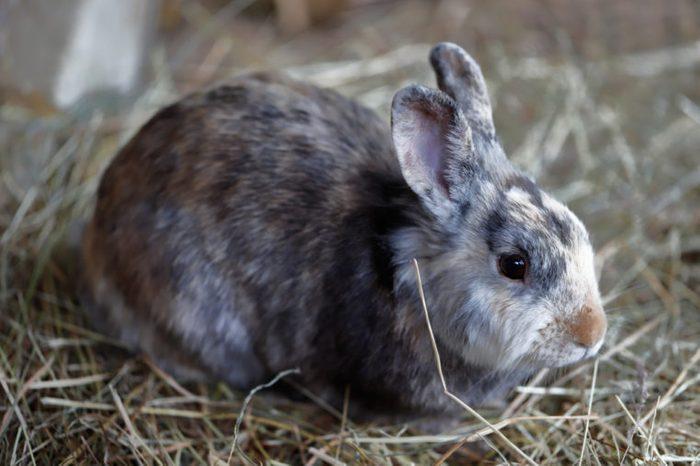 Full body of white-brown-grey domestic pygmy rabbit.
