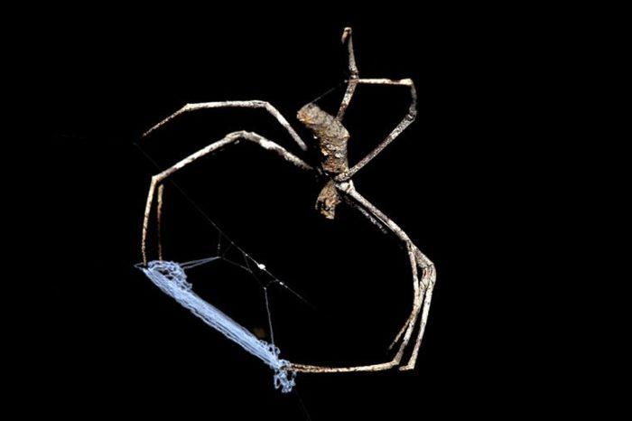 Spider, Ogre faced or Net-casting, Deinopis Ravidus, body length 25mm