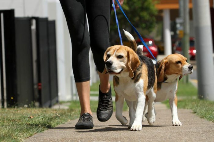 Walking Beagle Dogs on lead