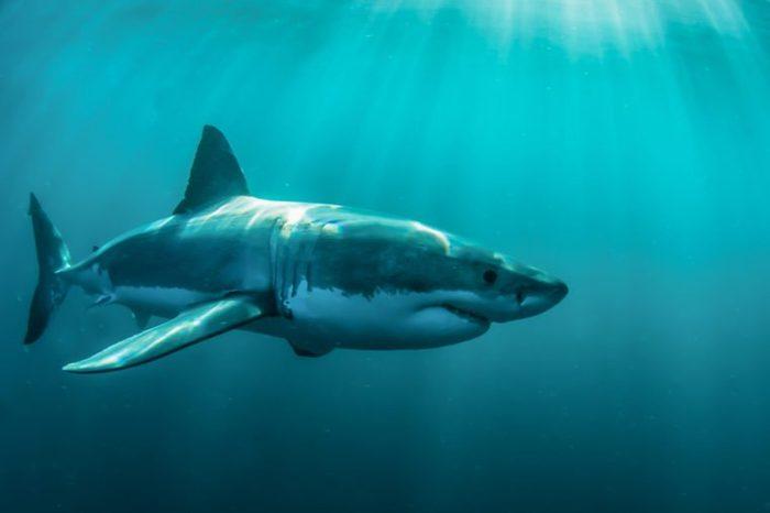 Great white shark underwater at Gansbaai.