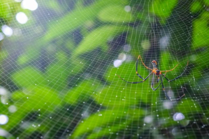 A female Golden SIlk Orb Weaving Spider waiting on her web at Chet Khot waterfall - Pong Kon Sao Nature Study Centre Soft focus