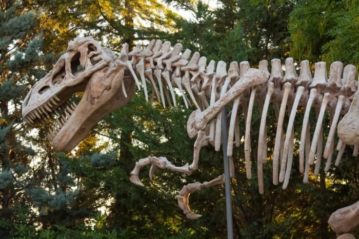 skeleton of a dinosaur Tyrannosaurus Rex
