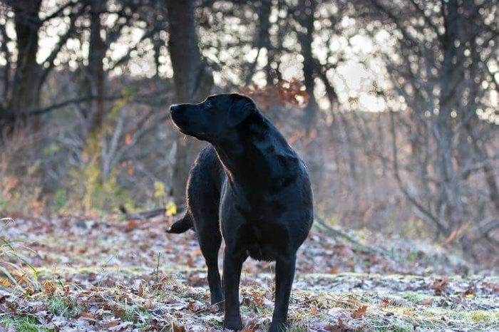 Labrador Retriever Sniffing the Air on Early Frosty Winters Morning