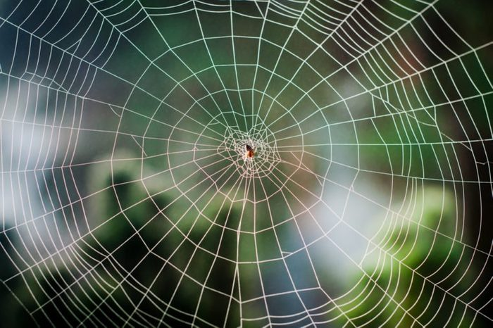 Spiral orb web in focus with spider in the center