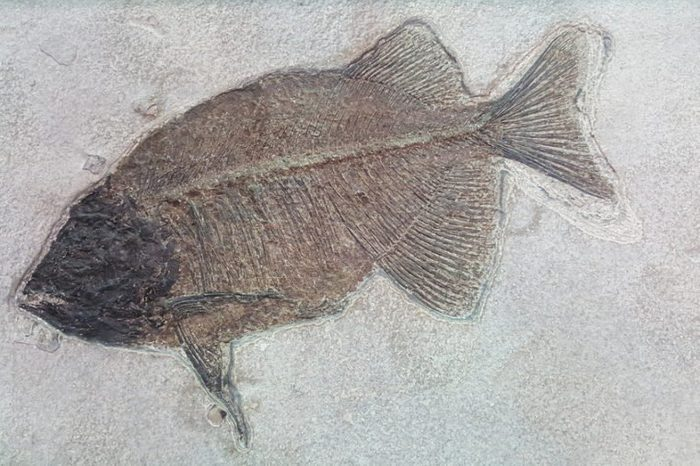 Fish fossil. The evolution of fish began about 530 million years ago during the Cambrian explosion.