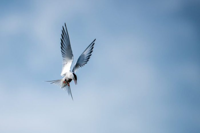 Arctic Tern (Sterna paradisaea) hovering over the water in search for fish, here just before the dive, with a cloudy blue background.