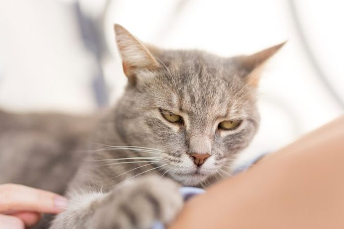 Top view of a furry tabby cat lying on its owner's lap, enjoying being cuddled and purring.