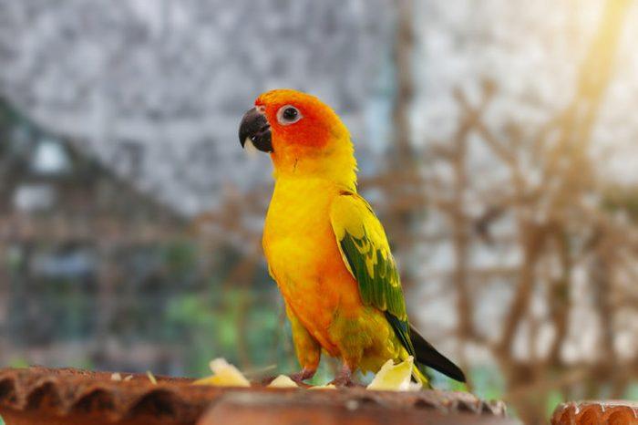 The court parrot ,colorful parrot ,beautiful parrots,sun conure