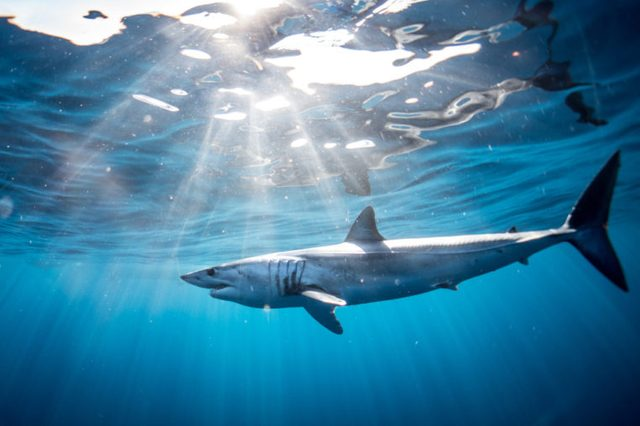 Shark diving in the Sea of Cortez with a Mako Shark of the coast of Cabo San Lucas, Mexico