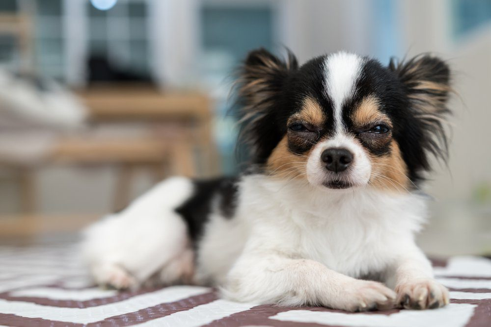 Adorable long/short hair chihuahua dog sleepy lying on mat with home living room background. Beautiful mark with black,brown and white color. Nap or sleeping dog resting on weekend or holiday concept.
