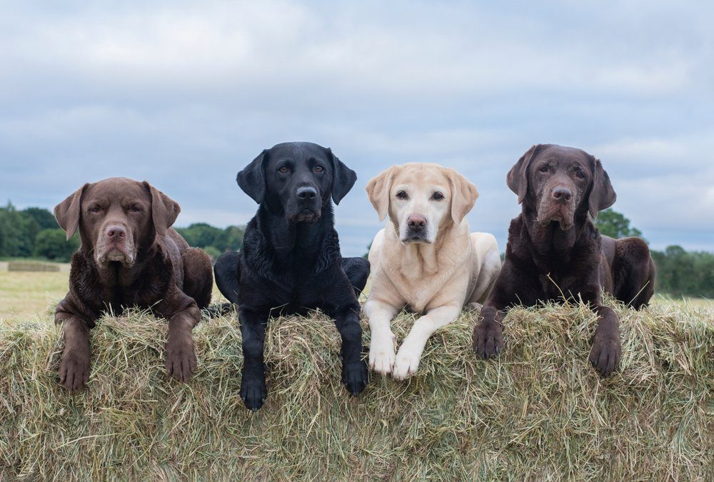 Four Labrador dogs sitting on hay