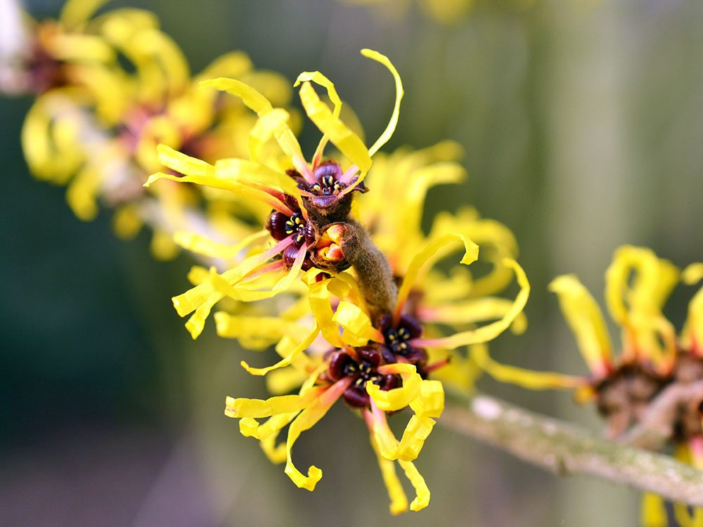 Home remedies for hemorrhoids: Witch hazel