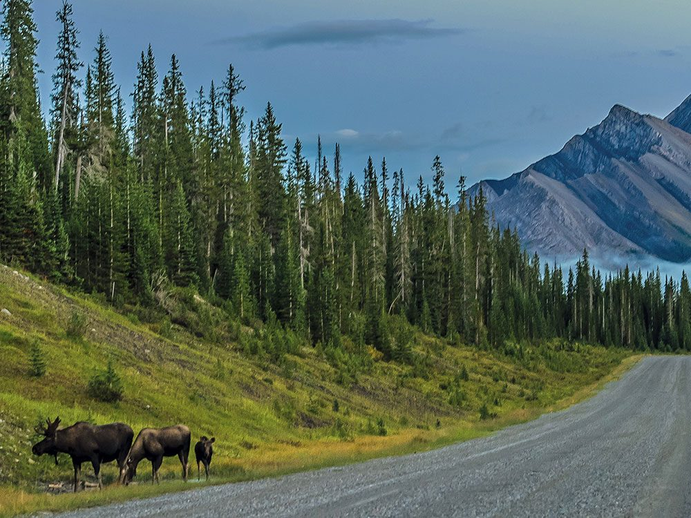 A family of moose along the Smith Dorrien Trail in Alberta