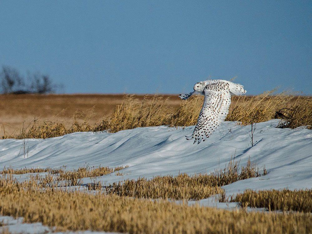 Snowy owl near Carstairs, Alberta