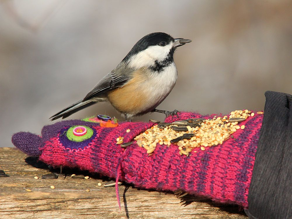 Types of birds in Canada - black-capped Chickadee
