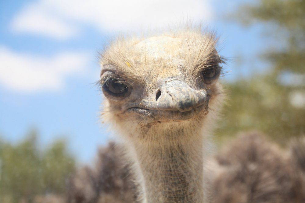 A close-up view of a curious ostrich head . Blue sky Background, copy text