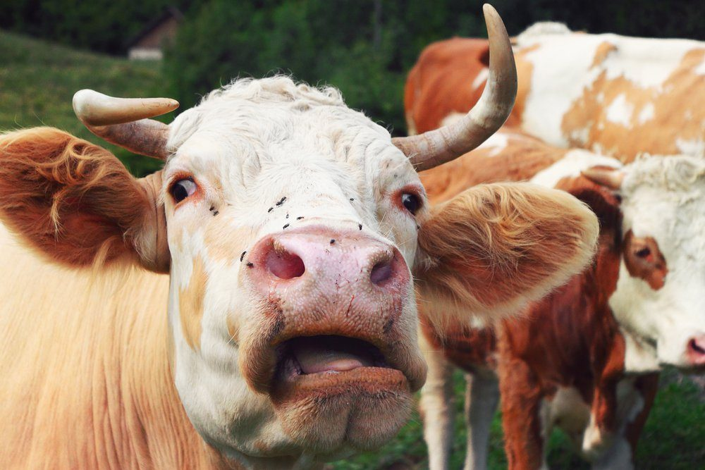 crazy cow, insane expression of a cattle