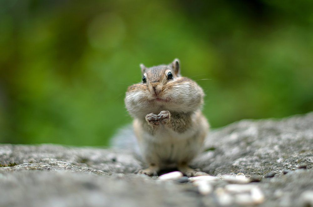 Chipmunk with cheeks full of nuts and seeds. Cheeks bulging. Stocks for the winter. Closeup. Selective focus