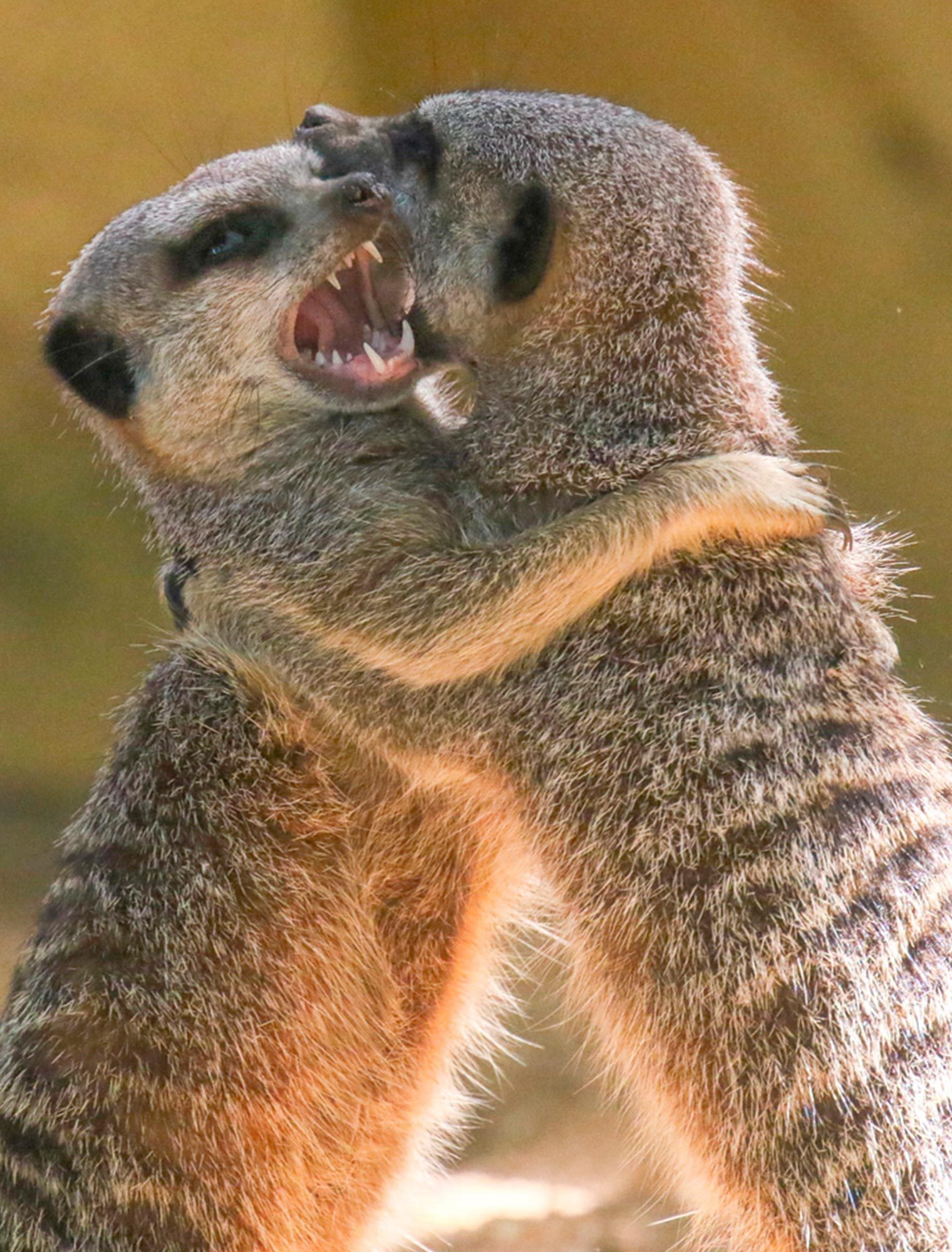 Meerkats play fighting