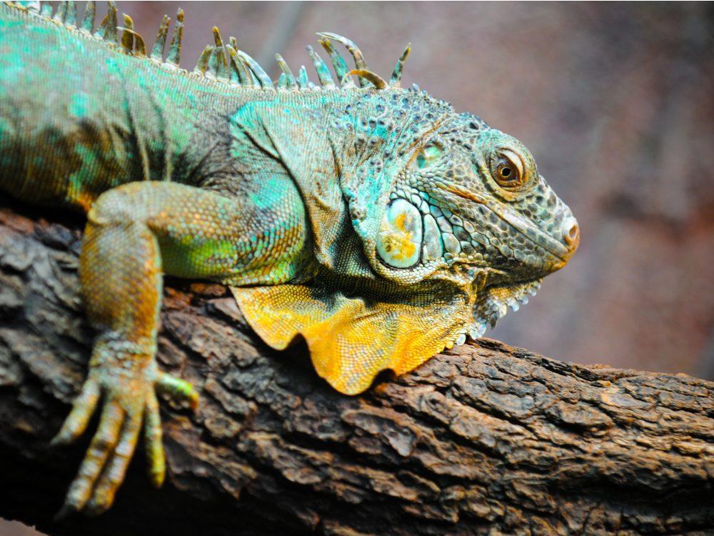 Iguana in Galapagos Islands
