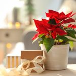 How to Care For Your Poinsettia After the Holidays