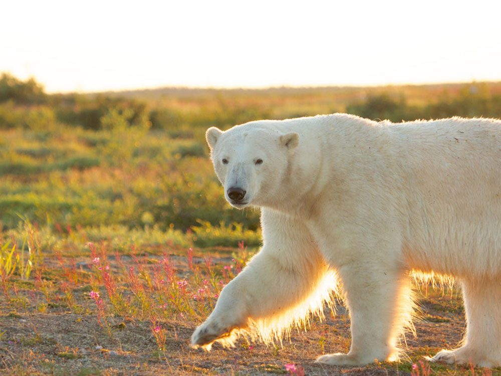 Best places to visit in Canada - Polar bear in Churchill, Manitoba