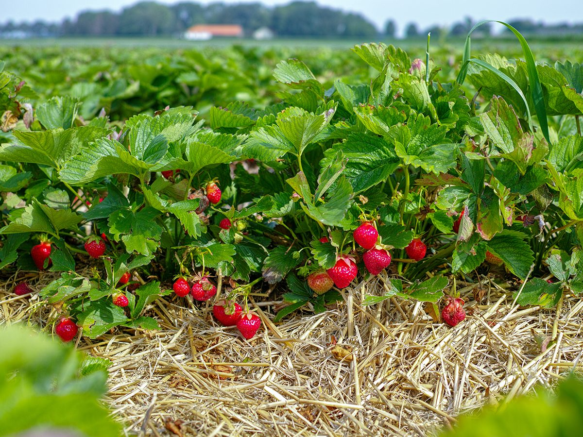 Best Reader's Digest jokes of all time - field of strawberries