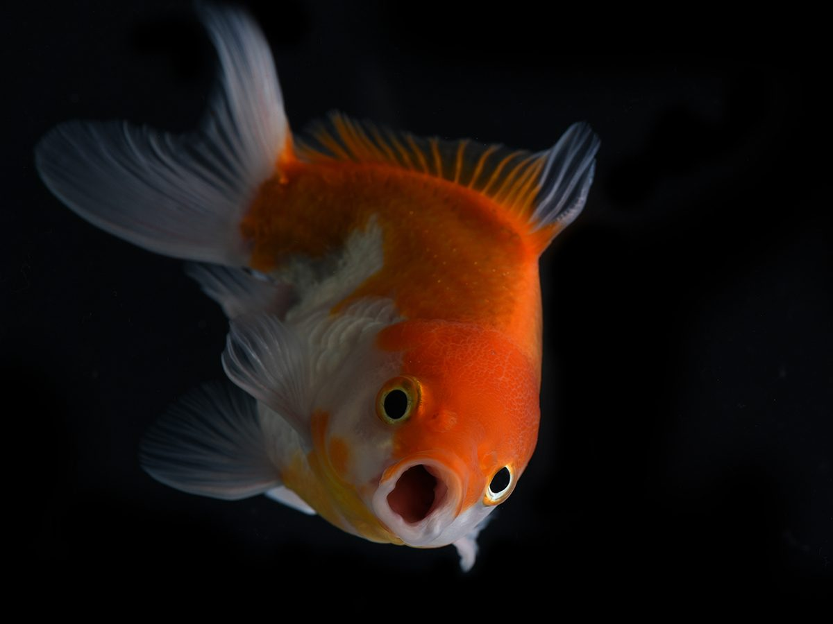 Best Reader's Digest jokes of all time - funny goldfish
