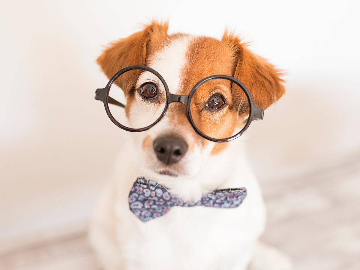 Best Reader's Digest jokes of all time - smart dog in glasses
