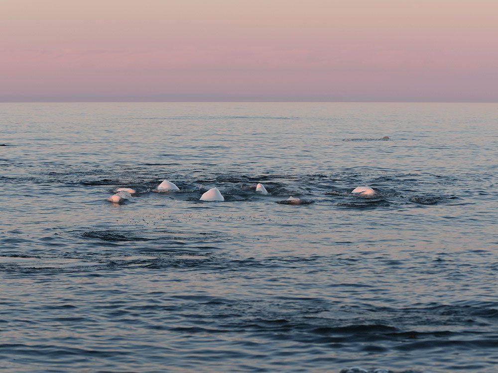 Living in Canada - Belugas in Churchill, Manitoba