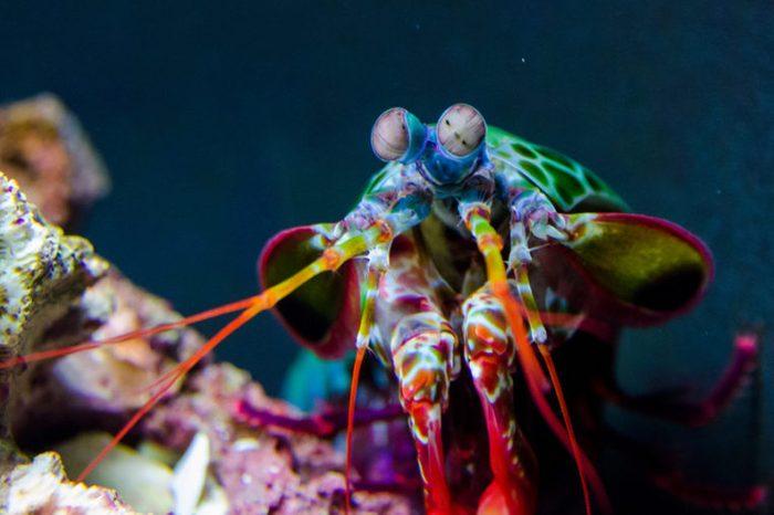Peacock Mantis Shrimp investigating its tank