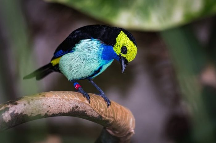 A colorful paradise tanager with a yellow face sitting on the branch of a tropical tree