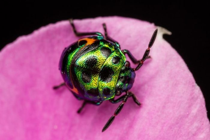 Colourful baby bugs Chrysocoris stollii on greens leaves from macro photography with blurry backgrounds