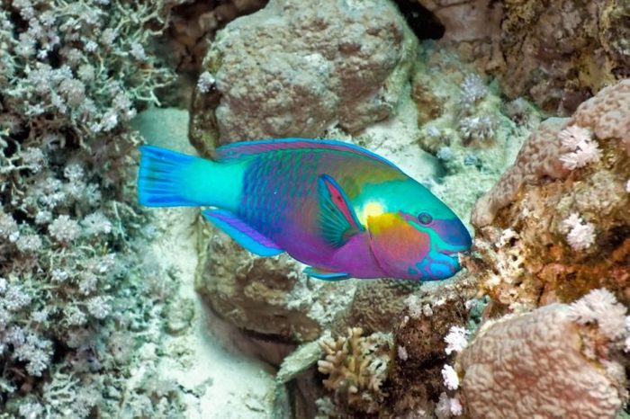 Parrotfish on the coral reef