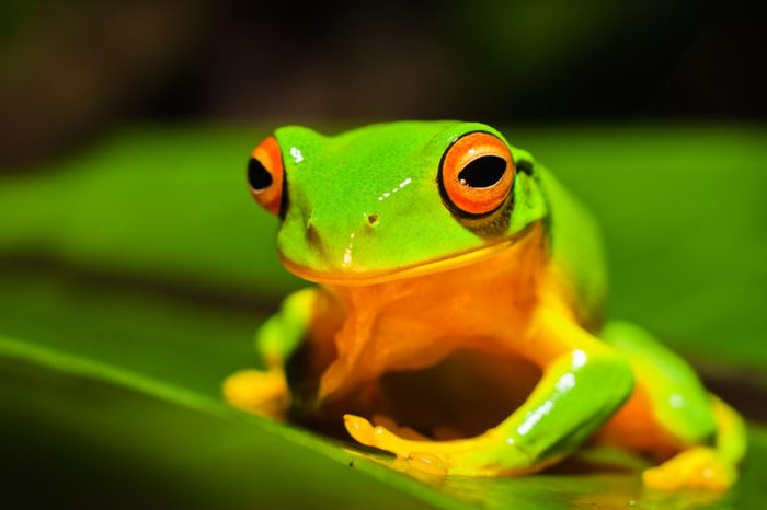 A macro shot of a beautiful Australian Orange thighed Tree frog, Litoria xanthomera, sitting on a leaf.