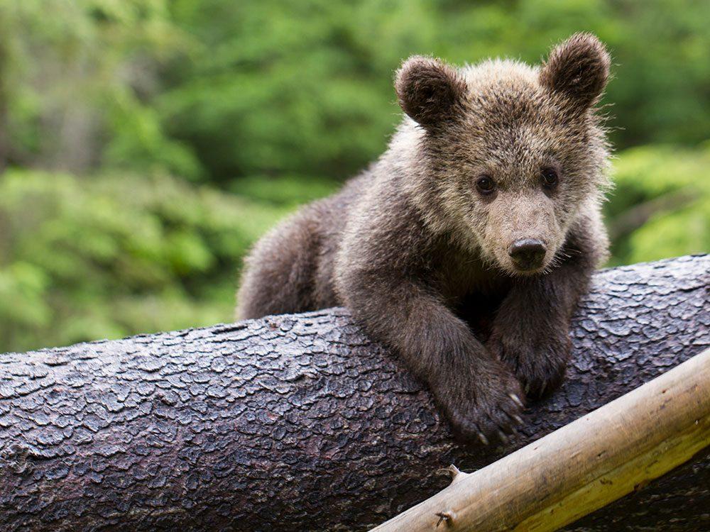 British royal family pets - bear cub