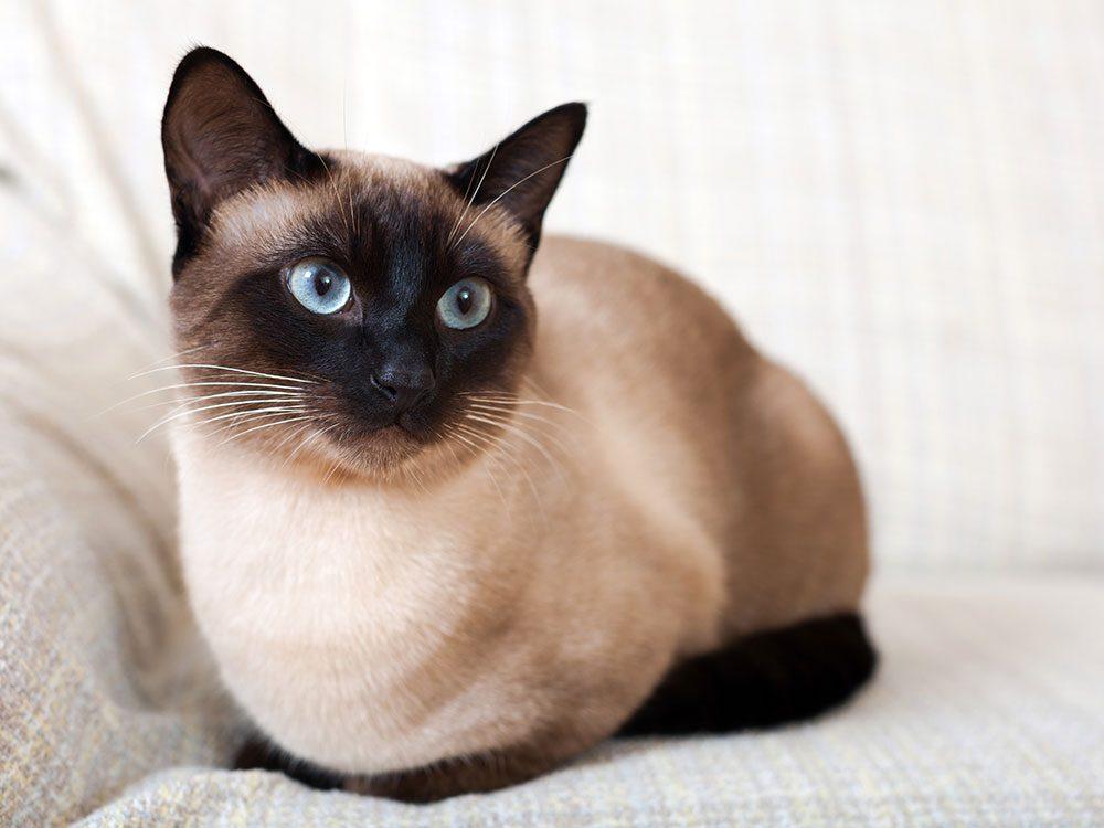 British royal family pets - Siamese cat