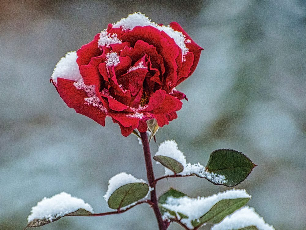 Snow-covered rose