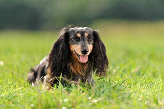 a miniature long haired dachshund