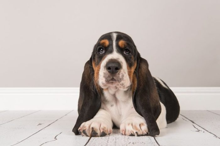 Cute tricolor basset hound puppy lying down looking at the camera in a gray living room setting