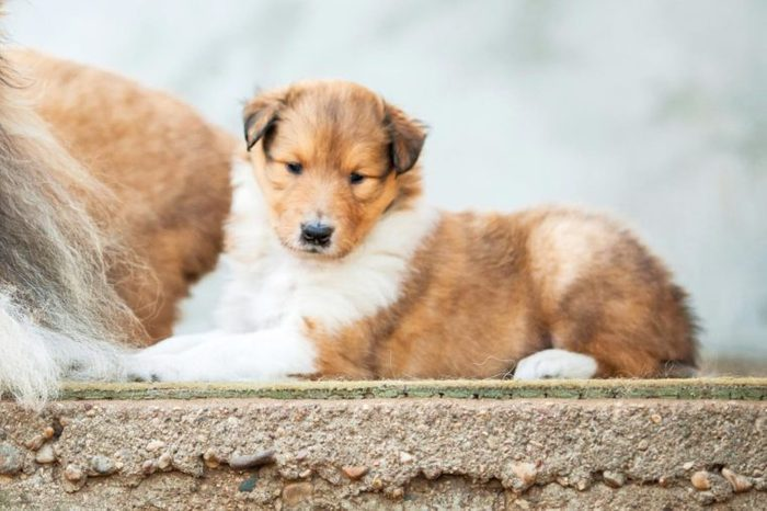 Portrait of rough collie with little puppies