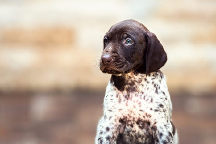 Beautiful puppy German Short haired Pointer