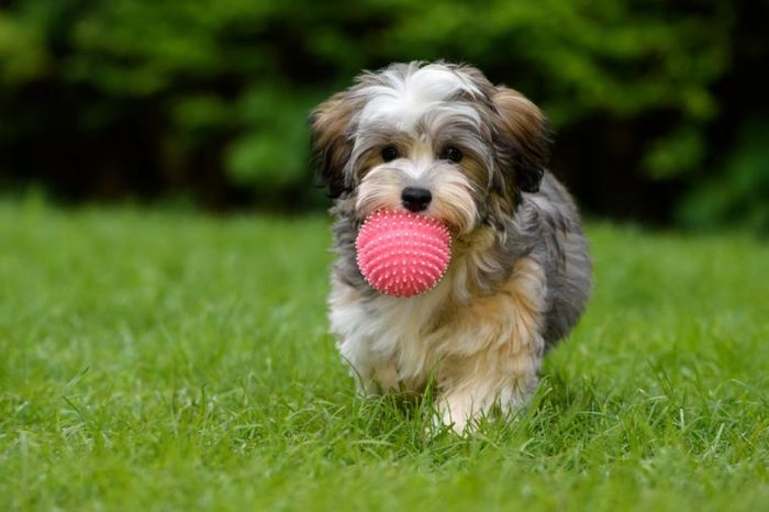 Playful havanese puppy dog brings a pink ball towards the camera in the grass