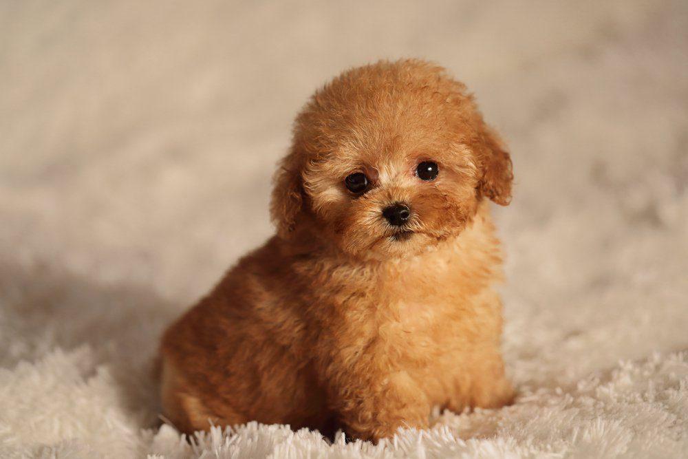 puppy tea cup poodle dog