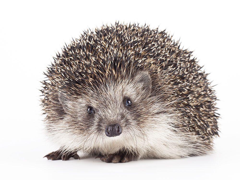 World's dumbest criminals - hedgehog