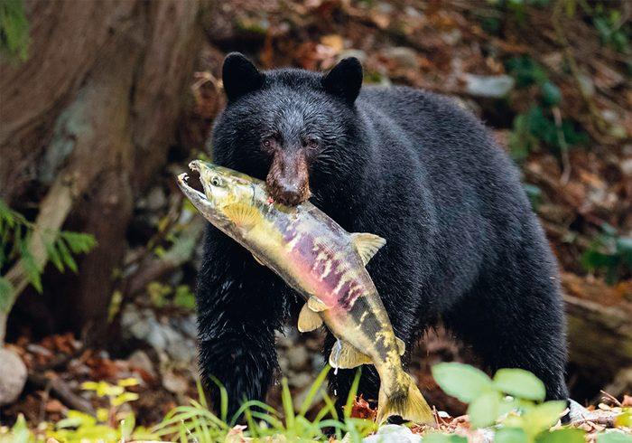 Black bear in British Columbia