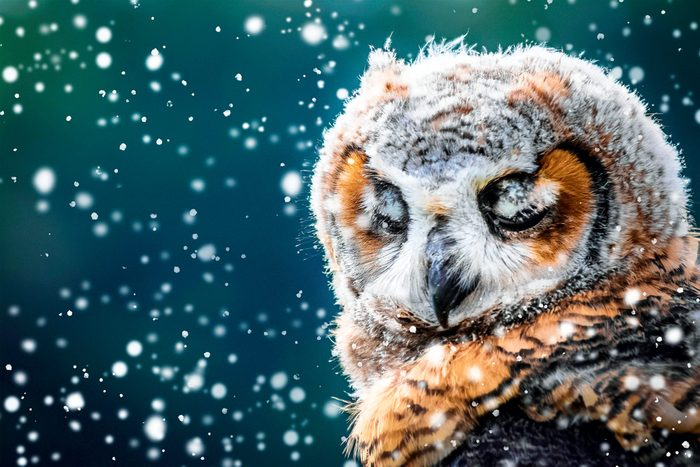 Snowy owl - Canadian photography