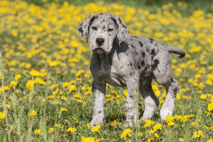 VARIOUS Great Dane, puppy, spotted
