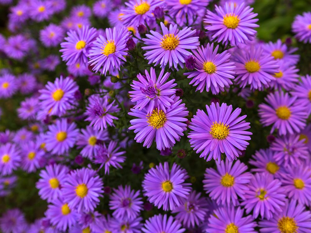 Bee friendly plants - asters