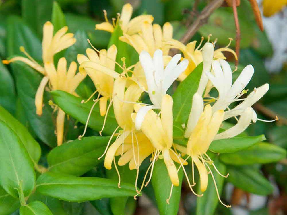 Bee friendly plants - honeysuckle